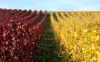 Les cépages des vins français